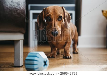 Smooth Brown Miniature Dachshund Inviting The Owner To Play With Him, Rubber Toy Ball On The Floor I