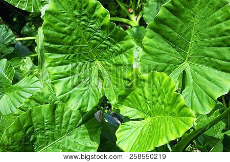 Alocasia Macrorrhizos Is A Species Of Flowering Plant In The Arum Family, Araceae, That It Is Native
