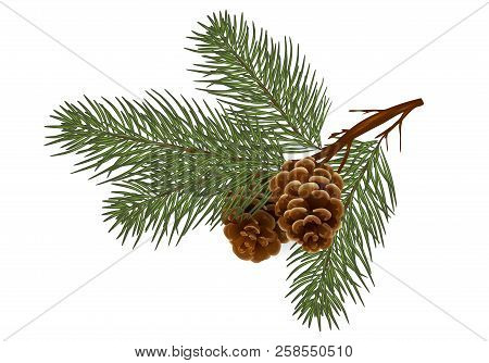 Christmas  Pine Tree Branches And Cones. Design Element In Realistic Style For Christmas Decoration.