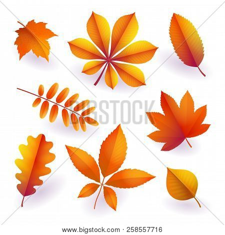 Set Of Isolated Bright Orange Autumn Fallen Leaves. Elements Of Fall Foliage. Leaves Of Maple, Chest