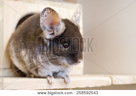 Cute chinchilla of brown velvet color is sitting on a wooden shelf near to its house and looking away, side view. poster