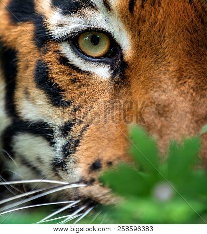 Close Up Angry Bengal Tiger Eye Looking