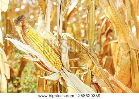 Ear Of Corn On Dry Corn Plants In The Field On A Sunny Day