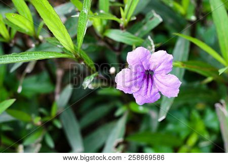 Ruellia Is Flowering Plants  That Known As Ruellias Or Wild Petunias. They Are Popular Ornamental Pl