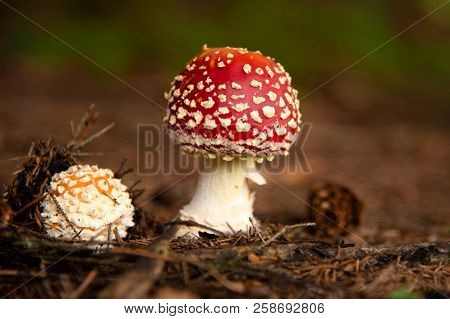 Amanita Muscaria, Poisonous Mushroom In The Forest