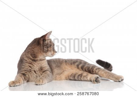 side view of curious grey metis cat lying on white background and looking to side