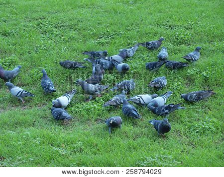 Highly Social Pigeons Eating A Handout Of Round Baked Oaks With A Hole In The Center. Healthier Than