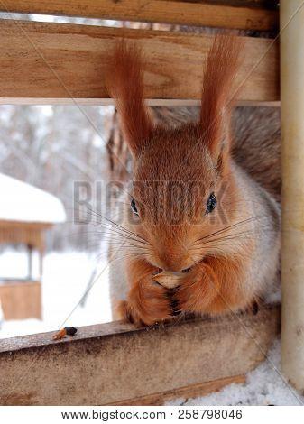 Siberian Squirrel Breakfasts In The Trough, Omsk Region, Siberia, Russia