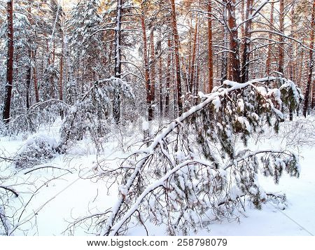 Winter Siberian Forest Of The Omsk Region Russia
