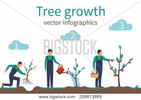 Process Of Growth Of Tree From Planting To Fruit Ripening. Timeline Infographic Growth Tree. Horticu