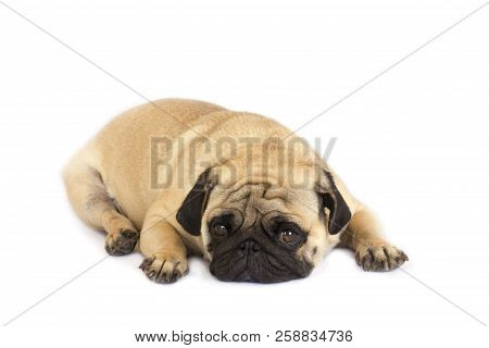 A Lying Pug Dog Looking Sad. Isolated.