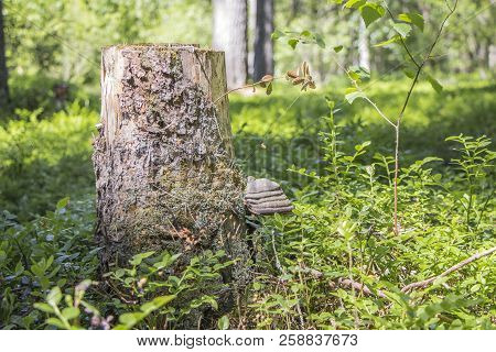 Bracket-fungus On Stump In The Forest. Stump