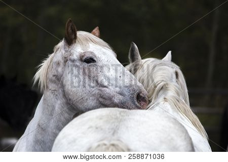 Two White Wyoming Ranch Horses Nuzzling In Corral