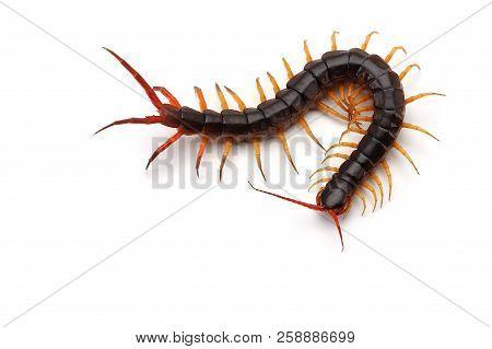 Macro Giant Centipede Isolated On White Background