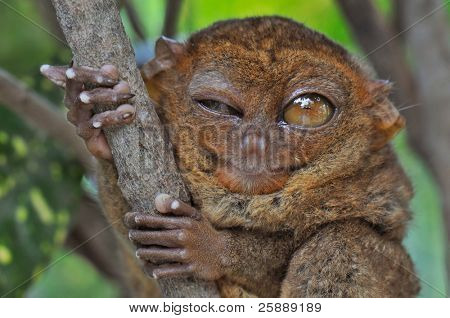 Lovely Tarsier winking with one eye