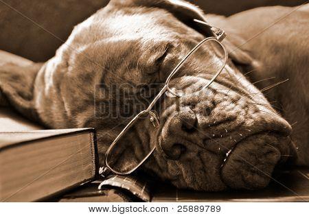 Smart Dog in Glasses Sleeping in Books in Sepia Tone