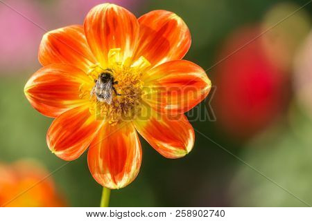 Close-up Of A Bee On A Red Dahlia Pooh Flower In The Morning Sun.