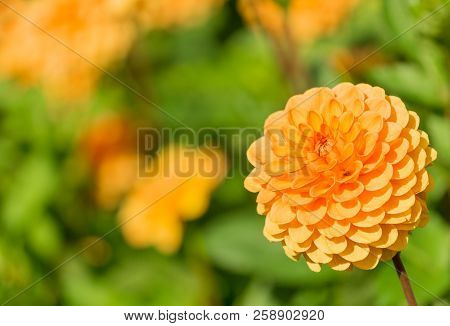 Close-up Of A Beautiful Yellow Ball Dahlia In The Summertime. View To A Ball Dahlia On A Sunny Day.