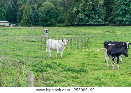 A view of a group of cows in a field in Auburn, Washington. poster