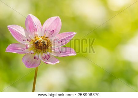 Close-up Of A Pink Dahlia Pooh Flower In The Morning Light. Honey Bees On A Purple Dahlia Pooh Flowe