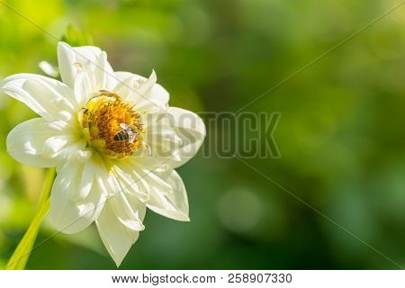 Close-up Of A White Dahlia Pooh Flower In The Morning Light. A Honey Bee On A Whote Dahlia Pooh Flow