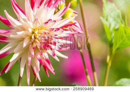 Close-up Of A Pink Cactus Dahlia (asteraceae) Flower In Summer. Semi Cactus Dahlia Flowers In Late S