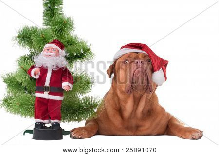 Dog with Santa's cap lying next to a Christmas tree and Santa toy poster