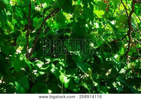 Leaf Of Grapes. Collection. Total Depth Of Field. A Leaf On A Branch With Branches. A Branch Of A Vi