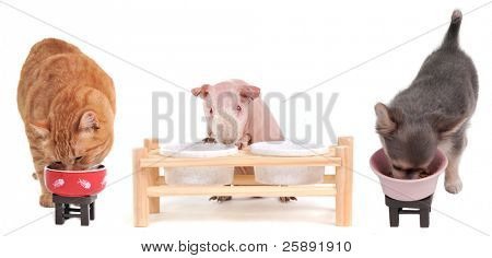 Kitten, Puppy and Skinny Guinea Pig eating, isolated
