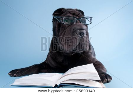 Smart black shar-pei dog with glasses is reading a book