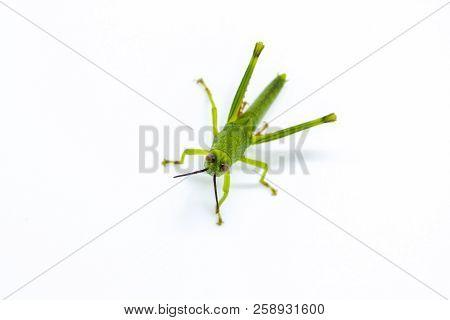Green Tropical Grasshopper Look To Camera On White Background. Green Grasshopper Segmented Body. Exo