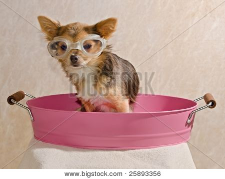 Chihuahua puppy taking a bath wearing goggles sitting in pink bathtub