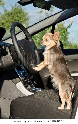 Chihuahua driver dog with paws on steering wheel