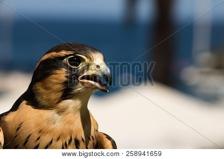 Peruvian falcon an aplomado, a closeup, head shot of a bird of prey, a raptor with brown and gold markings on feathers and dramatic black strips around eyes poster