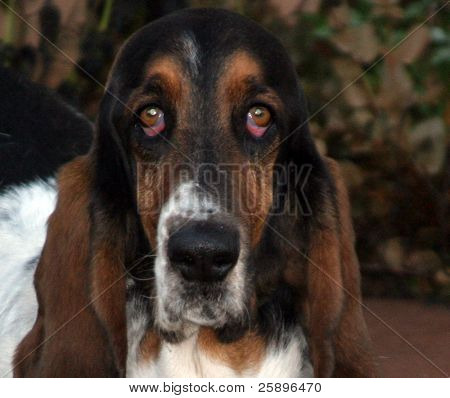 "this bassit hound has ""Puppy Dog Eyes"" as he sits and watches the photographer take his picture"