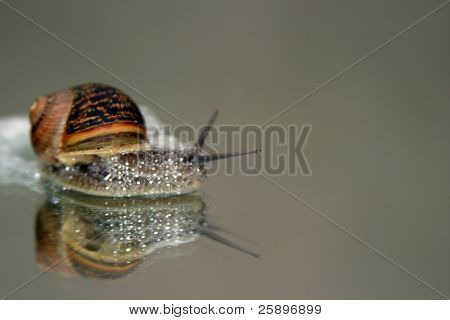 a snail foams up in a defensive mode on a mirror poster