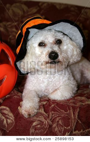Beau a Bichon Frise Poses in his Halloween Costume poster