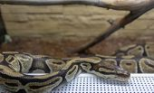 The royal python is brown in the terrarium. Exotic pet poster
