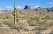 Arizona desert near Castle Dome in Yuma County, showing saguaro cactus and chollas. poster