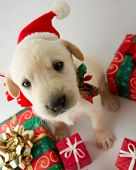 Merry Christmas - portrait of cute labrador puppy for Christmas gift poster