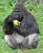 large male silver back western lowland gorilla (gorilla gorilla gorilla) eating vegetation in a seating position poster