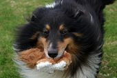a border collie brings me his favorite toy to play with poster