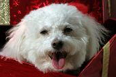Fifi, a Bichon Frise smiles while looking out from a red Christmas Present with Gold Ribbon and a Golden Bow poster