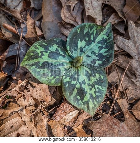 A Large Green Mottled Wild Trillium With An Unopened Flower Newly Emerge Through The Leaf Debris On