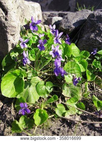 Viola Odorata Growing In Spring