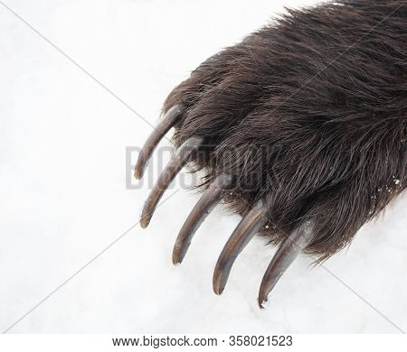 Long Bear Claws On The Front Right Paw. Kamchatka Bear Claws On The Background Of Spring White Snow.