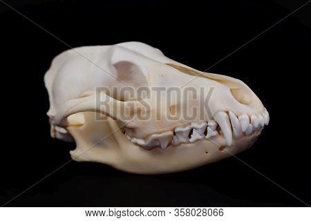Skull Of A Golden Jackal, Canis Aureus