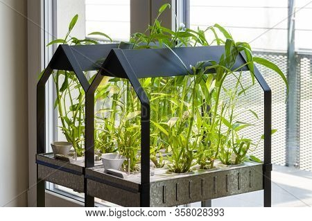 Indoor Hydroponic Garden At Home Growing Kankung Plants.