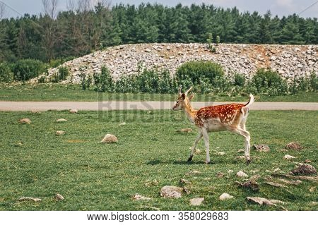 Young Fallow Deer Eating Grazing Grass On Summer Outdoor. Herd Animal Dama Dama Feeding Consuming Pl