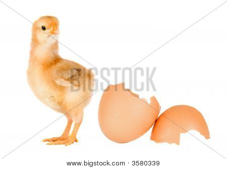 Chicken yellow with broken eggshells on a white background poster